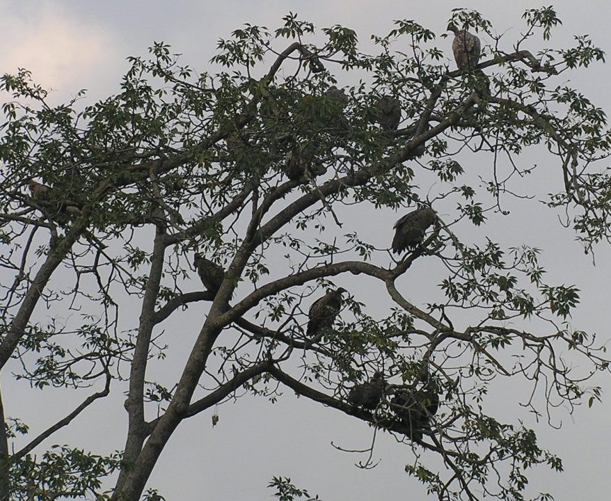Vultures diminishing in numbers