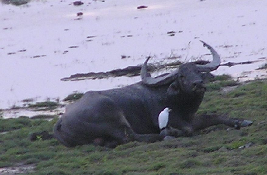 Water buffalo sunning by the beel