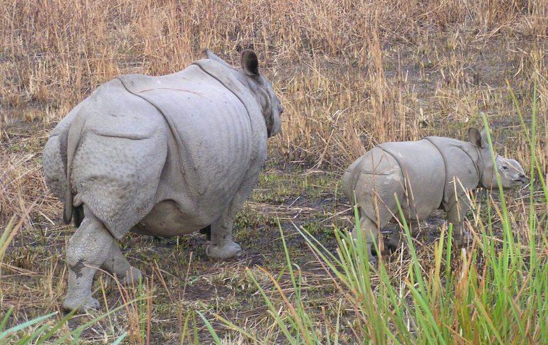 Rhinocerors