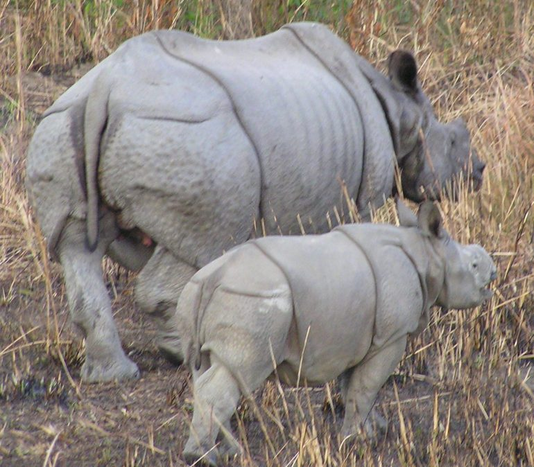 Rhino mother and calf