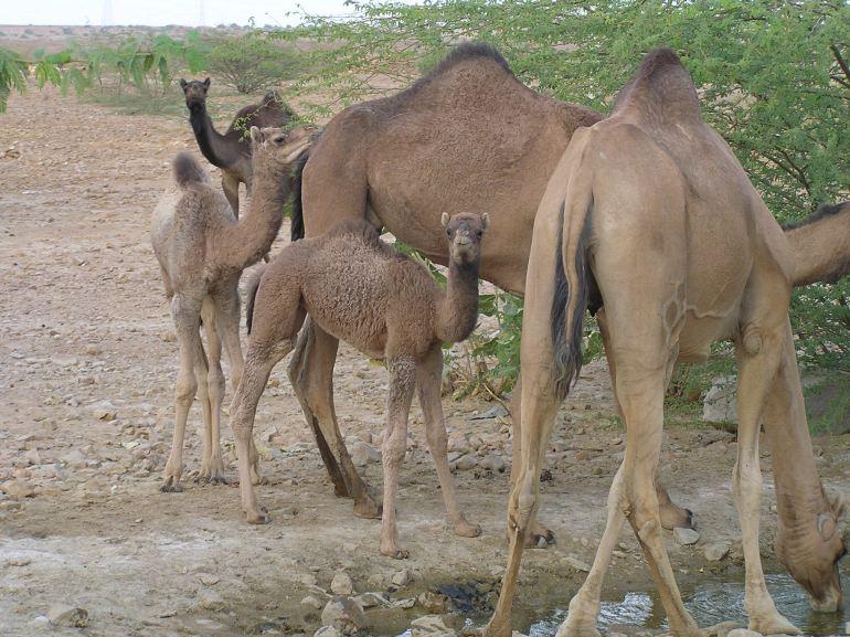 Untamed Camels