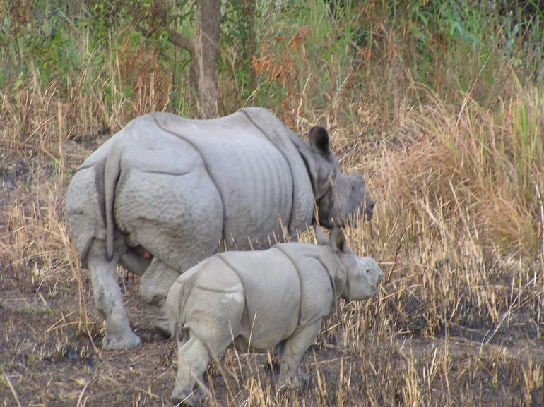 Mommy and baby Rhino