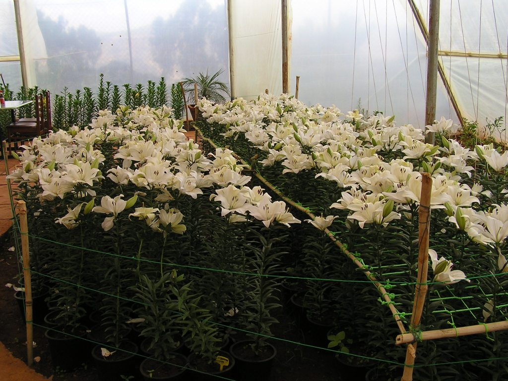 Cultivated Tiger lilies