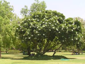 Cool shade of Frangipani tree