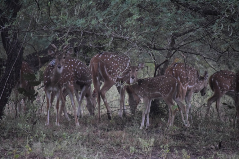 curious at our intrusion; the spotted deer