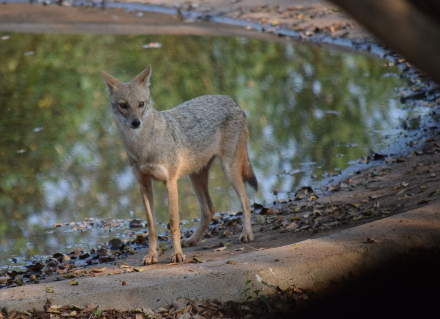Golden Jackal at a man-made watering hole