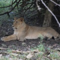 Lioness under the shade post her meals