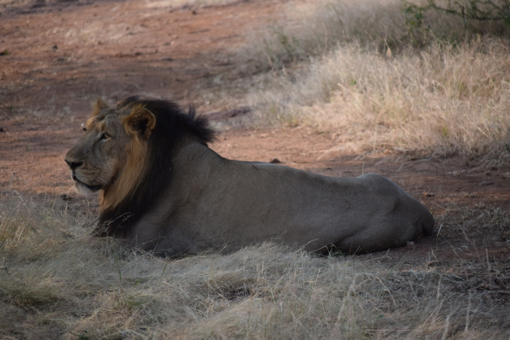 One of the lion who was forced out from deep forest for visitors