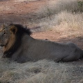 One of thelions