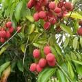 green lychees