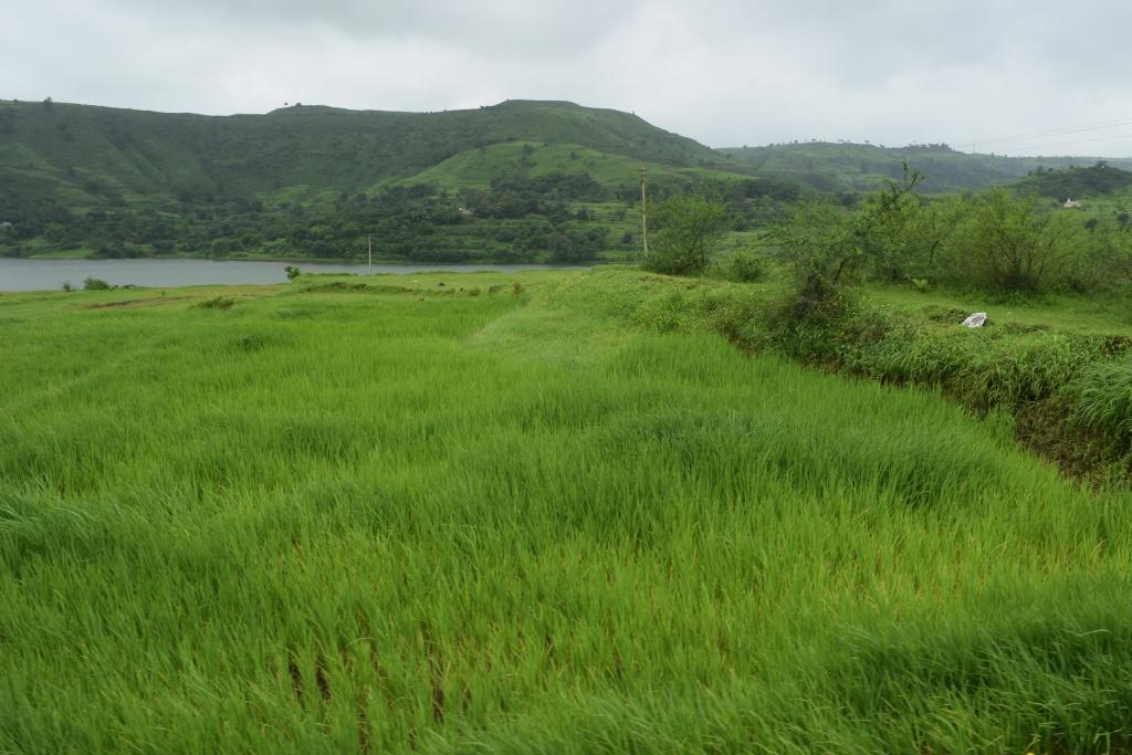 Lush paddy fields