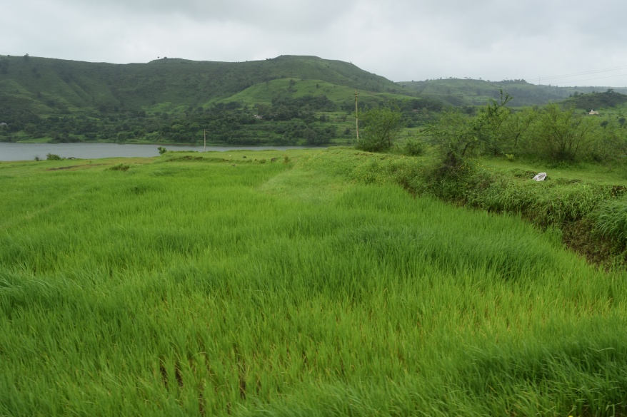 Lush paddy fields