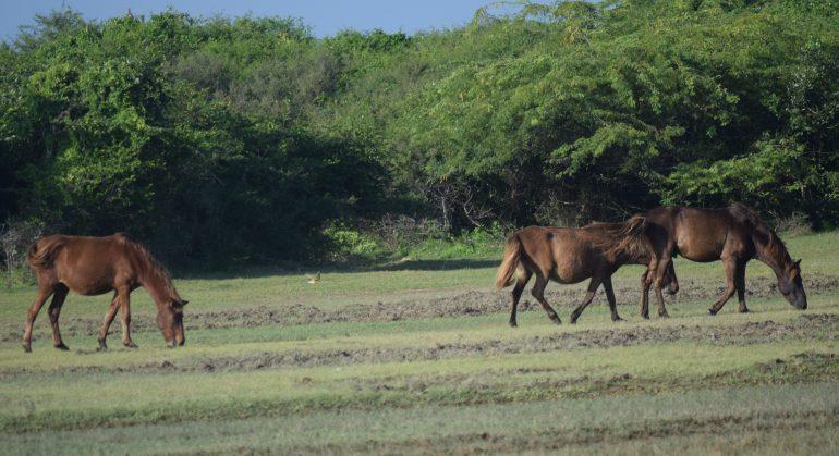 Feral Ponies