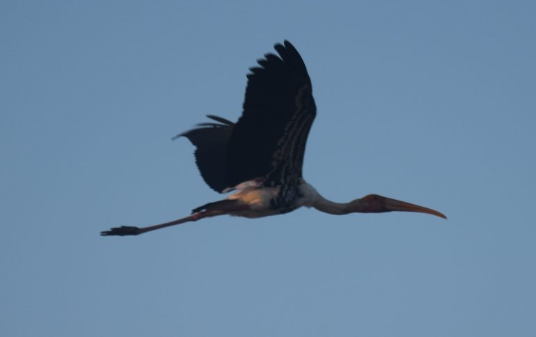 Painted Stork in flight
