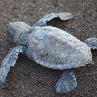Olive Ridley Turtle Festival, Velas Beach, Maharashtra