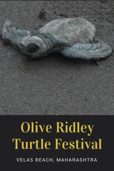 Olive Ridley Turtle Festival