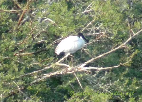 Black headed Ibis, Keoladeo National park, Rajasthan