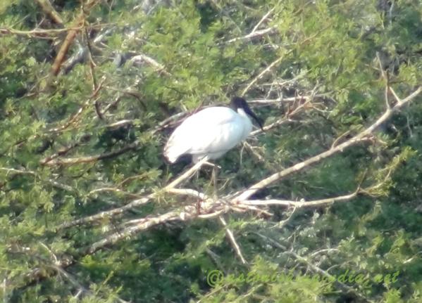 Black headed Ibis, Keoladeo National park, Rajasthan