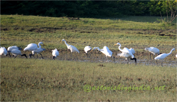 Cranes and Black headed Ibis at Muthupet Wildlife and Bird Sanctuary