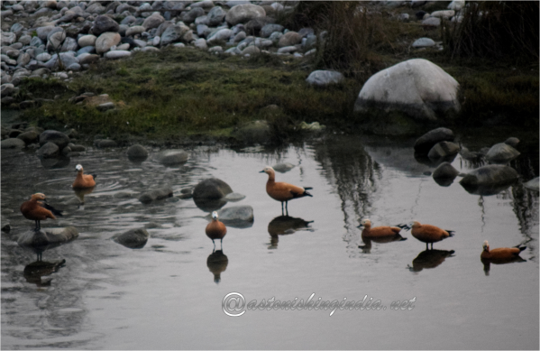 Ruddy Shelduck at Corbett National Park, Uttarakhand