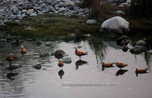 Ruddy Shelduck at Corbett National Park, Uttarakhand