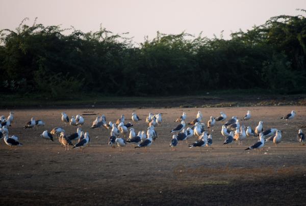 Seagulls at Point Calimere, Tamilnadu